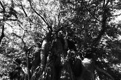 Branches (Ludovic Macioszczyk Photography) Tags: branches parc victorthuillat limoges nikon f2 135 ilford hp5 plus 400 iso pushed 800 septembre 2019 © ludovic macioszczyk photomic black white noir et blanc monochrome contrastes life light outside extérieur mm tag world monde earth asa film pellicule flickr argentique analog lumière grain 35mm photography négatif nikkor 28mm france slr photo photographie 24x36