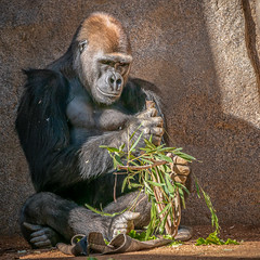 Concentration (helenehoffman) Tags: silverback conservationstatuscriticallyendangered primate sandiegozoosafaripark ape gorilla mammal africa westernlowlandc frank gorillagorillagorilla animal fantasticnature coth coth5 specanimal
