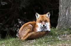 Red Fox. (rumerbob) Tags: redfox fox animal wildlife wildlifephotographer wildlifewatcher nature naturewatcher naturephotography canon7dmarkii canon100400mmlens