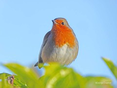 West Kilbride Robin1 (g crawford) Tags: robin bird red ayrshire northayrshire crawford panasonic lumix tz60 nature wildlife westkilbride