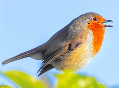 West Kilbride Robin2 (g crawford) Tags: robin bird red ayrshire northayrshire crawford panasonic lumix tz60 nature wildlife westkilbride