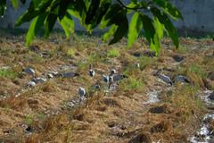 Anastomus oscitans Ciconiidae- Asian Openbill, นกปากห่าง 3 (SierraSunrise) Tags: thailand phonphisai nongkhai isaan esarn animals birds storks openbill black white waders wadingbirds