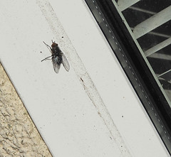Fly on window frame:  28.11.19. (VolVal) Tags: dorset bournemouth boscombe garden fly windowframe november
