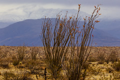 Snow Capped Mountains In the Background and Desert Landscape In the Foreground. (slworking2) Tags: borregosprings california unitedstatesofamerica ocotillo desert mountains snow weather anzaborrego anzaborregodesertstatepark