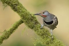 Northern flicker (Martin Dollenkamp) Tags: vancouverisland birds nature woodpecker hairy hairywoodpecker britishcolumbia picoidesvillosus canada