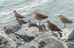Willets, Marbled Godwits and Whimbrel (Sandy Steinman) Tags: birds emeryvilleshoreline whimbrel shorebirds willets marbledgodwits