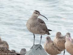 Whimbrel (Sandy Steinman) Tags: birds emeryvilleshoreline whimbrel shorebirds