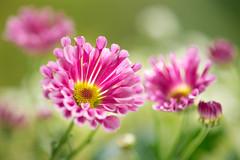 chrysanthemum 1483 (junjiaoyama) Tags: japan flower plant chrysanthemum mum red autumn fall macro bokeh