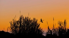 Praise and Thanks (Christina's World :) Tags: cormorant 3166 seagrovepark 2649 sunset grasses landscape california nature silhouette birdflying orange goldenhour thanksgiving sea hff fence coth5