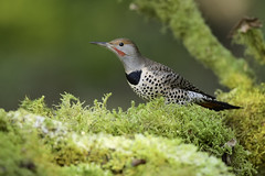 Northern flicker (Martin Dollenkamp) Tags: vancouverisland woodpecker britishcolumbia northernredshaftedflicker flicker colaptesauratus nature birds