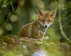 foxy (richgparkes) Tags: fox cub