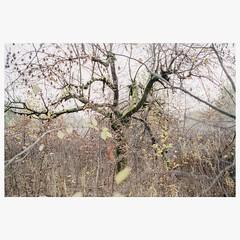 (mariuszlemiecha) Tags: canonrebelt2 canon40mmstm fujicolorpro400h fujipro400h 35mm filmphotography analog tree chaszczyzm