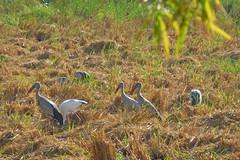 Anastomus oscitans Ciconiidae- Asian Openbill, นกปากห่าง 6 (SierraSunrise) Tags: thailand phonphisai nongkhai isaan esarn animals birds storks openbill black white waders wadingbirds