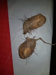 Dioscorea daunea Prain & Burkill Dioscoreaceae - มันอ้อน (SierraSunrise) Tags: thailand phonphisai nongkhai isaan esarn plants roots rootcrops yam dioscorea dioscoreaceae