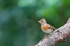 花雀 (mikleyu) Tags: 鳥 動物 自然