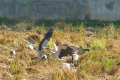 Anastomus oscitans Ciconiidae- Asian Openbill, นกปากห่าง 8 (SierraSunrise) Tags: thailand phonphisai nongkhai isaan esarn animals birds storks openbill black white waders wadingbirds
