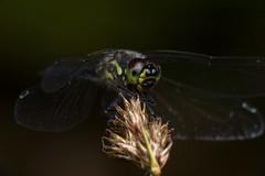 Black Lips, Pt. 2 - _TNY_9427 (Calle Söderberg) Tags: macro canon canon5dmkii canoneos5dmarkii canonef100mmf28usmmacro canon5dmarkii 5d2 raynox dcr250 flash meike mk300 glassdiffusor insect dragonfly trollslända odonata libellulidae segeltrollslända sympetrum danae ängstrollslända svartängstrollslända blackdarter blackmeadowhawk meadowhawk darter perched compoundeyes eyes wings stubble hair hairy fuzz fuzzy smile smiling f22 vividstriking