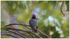 taking shelter (marneejill) Tags: annas hummingbird greenery green bokeh resting branches pink purple rain drop