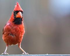 A Cardinal in raggy feathers (xrayman.dd) Tags: cardinal cardinalmale
