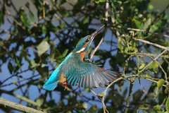 K32P9798aa KIngfisher, Lackford Lakes, October 2019 (bobchappell55) Tags: alcedoatthis lackfordlakes suffolk bird kingfisher nature wild wildlife flight
