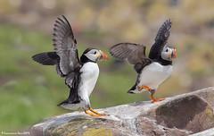Atlantic Puffin (Fratercula arctica) @ Farne Island, Northumberland, UK_20190616_1410 (LawrenceNeo) Tags: atlanticpuffin