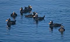 20191121Z7_6892FLR (cisco42) Tags: bc birds britishcolumbia canada female ferrydock malaspinastrait male surfscoter water melanittaperspicillata duck