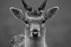 Pricket Portrait (andy_AHG) Tags: wildlife autumn stag fallowdeerbuck antlers animals nikond300s yorkshire