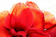 Shades of red (overthemoon) Tags: home flower amaryllis red backlit petals shiny velvety silky texture inside daylight explore 76
