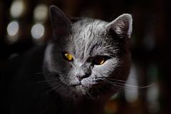 Antonio (Сonstantine) Tags: animals antonio catslife cat catsoftheworld catscatscats cute bokeh british britishcats photo pic portrait meow