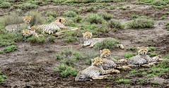A Coalition of Cheetahs (PhilHydePhotos) Tags: africa cheetah duma feline mammals safari seasonofsmallrains serengeti tanzania wildlife cats predator