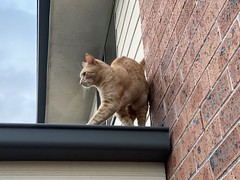 Fico on the roof (drayy) Tags: fico cat orange tabby roof thebiggestgroupwithonlycats