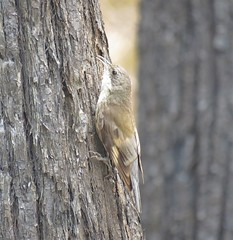 Cormobates leucophaea 16 (Barry M Ralley) Tags: candoormakh creek road nabiac nsw australia ausbird ausbirds barry m ralley barrymralley whitethroated treecreeper cormobates leucophaea