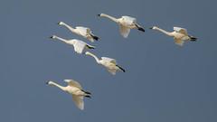 Tundra Swans  1897 (Paul McGoveran) Tags: bif bird birdinflight longpoint nature nikon500mmf4 nikond850 norfolkcounty tundraswan coth5 naturethroughthelens