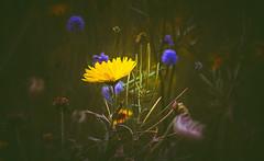 wildflower (Dhina A) Tags: sony a7rii ilce7rm2 a7r2 a7r minolta rf rokkorx 250mm f56 mirror reflex minolta250mmf56 md prime rokkor bokeh manualfocus lens wildflower