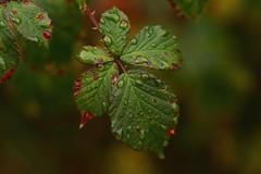 IMG_5845 Macro (Fernando Sa Rapita) Tags: scotland torridon highlands macro macrofotografía nature canon canoneos eos6d sigma sigma105mm leaf hoja green verde drops gotas