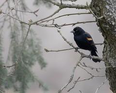 Red-winged blackbird. (Picture-Perfect Pixels) Tags: vancouverisland canada britishcolumbia saanich winter garryoaktree tree wildlife nature bird redwingedblackbird
