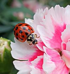 ladybug (majka44) Tags: insect ladybug pink flower nature garden red green bokeh macro macroworld