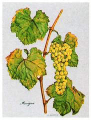 Amigne (Sparkling Wines of Puglia) Tags: uva grappolo uvaamine amigne ampelografia illustrated illustraciones illustrazioni illustrations illustration antico ancien