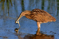 AmBitternAndFrog1Cropped (2)Sm (2) (Rich Mayer Photography) Tags: american bittern bird birds avian animal animals nature wild life wildlife fly flying flight nikon