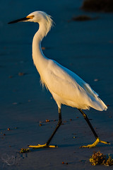 2016.10.30.8938 Egret (Brunswick Forge) Tags: florida grouped bird birds wildlife nature water river animal animals animalportraits outdoor outdoors day sunny clear egret snowyegret ocean atlanticocean crescentbeach staugustine afternoon evening autumn 2016 nikond7100 tamron150600mm