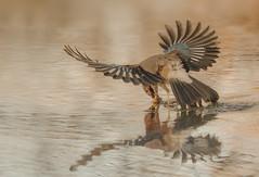 . . . the decisive moment (hardy-gjK) Tags: eichelhäher jay vogel wasser bird oiseau water eau teich weiher see etang lake motion bewegung reflection spülung waves wellen schnabel beak nuss nut hardy nikon