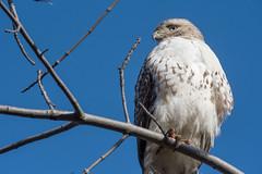 2018 Red-tailed Hawk 32 (DrLensCap) Tags: redtailed hawk montrose point bird sanctuary chicago illinois il raptor robert kramer coth5