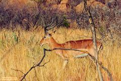 Impala ram (In Explore) (Johann (Still Me!)) Tags: impala impalaram rooibok rooibokram aepycerosmelampus antelope pilanesberg johanndejager ef100400mmf4556lisusm canoneos7dmarkii simplysuperb makemesmile