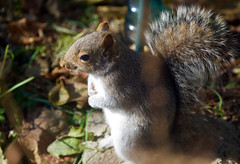 Thank you Lord for the seeds I am about to have! (ineedathis, Everyday I get up, it's a great day!) Tags: squirrel easterngraysquirrel sciurus animal critter nature autumn furry garden nikond750 graysquirrel feeding foraging grapehyacinths treesquirrel sciuruscarolinensis