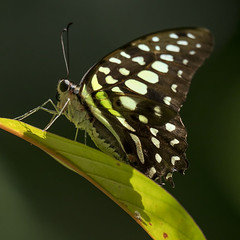 Graphium Agamemnon Butterfly, Wings of the Tropics, Fairchild Tropical Botanic Garden. (pedro lastra) Tags: panasonic leica 100400mm g9 micro 43 four thirds