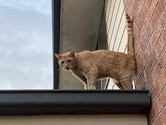 Fico on the roof (drayy) Tags: fico cat orange tabby roof oreengeness ggg thebiggestgroupwithonlycats