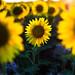 Little Sunflower in the Field