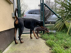 Little and Large. (firehouse.ie) Tags: dobermanns dobermann dobermans doberman brown red tan black puppy pup animals animal dogs dog kaiser saxon