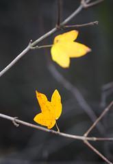 The last two (Dumby) Tags: macro ilfov românia closeup nature leafs autumn fall colors