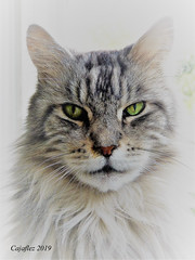Floris (Cajaflez) Tags: pet cat kat kater chat katze pedigree raskat mainecoon huisdier portret portrait tomcat floris coth5